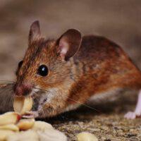 Ratten verdelgen